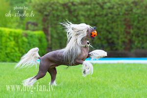 Chinese Crested Dog Magnet